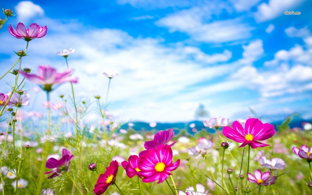 21568-colorful-cosmos-flowers-1280x800-flower-wallpaper